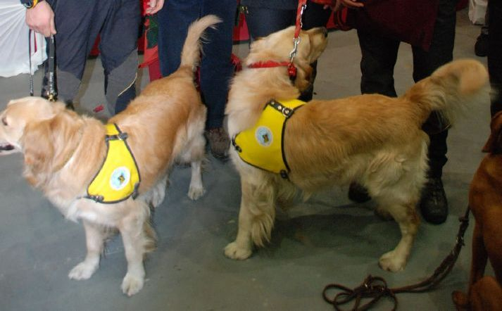 Due golden retriever da soccorso